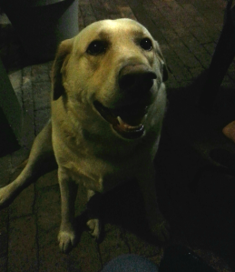 Sammy the Yellow Lab